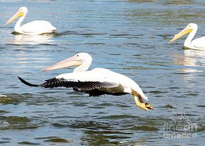 Photograph - White Pelican Takeoff by Carol Groenen