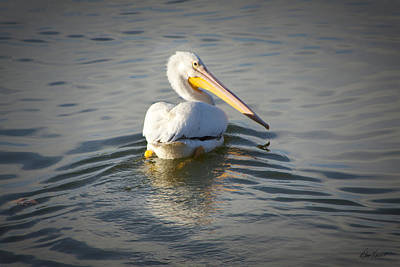 Photograph - White Pelican With Golden Reflection by Diana Haronis