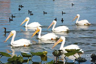 Photograph - White Pelicans And Friends by Carol Groenen