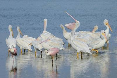 Photograph - White Pelicans And Roseate Spoonbills by Bradford Martin