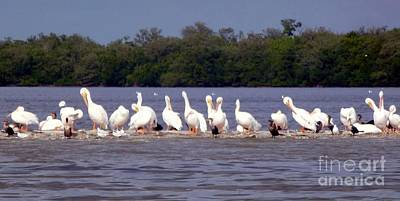 Photograph - White Pelicans And Little Friends by Barbie Corbett-Newmin