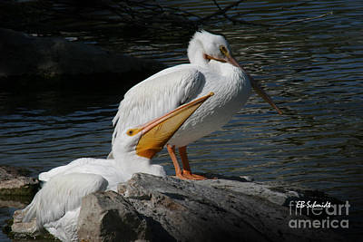 Photograph - White Pelicans by E B Schmidt
