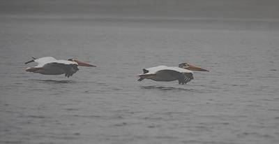 Photograph - White Pelicans Glide II by John Dart