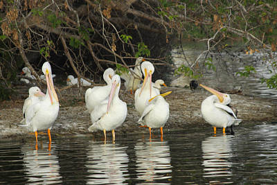 Photograph - White Pelicans Grooming by Diana Haronis