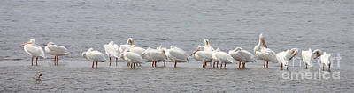 Music Figurative Potraits - White Pelicans in a Row by Carol Groenen