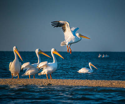 White Pelicans In Florida - 2 Art Print