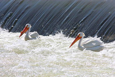 Birds Photograph - White Pelicans In Washington State by Carol Groenen