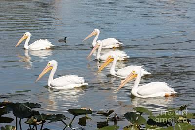 Photograph - White Pelicans Parade by Carol Groenen