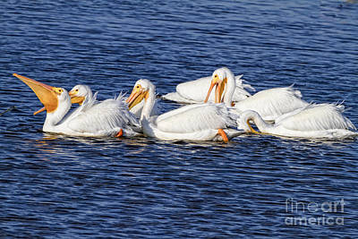 Photograph - White Pelicans by Ronald Lutz