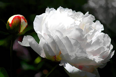 Photograph - White Peonies by Brian Davis