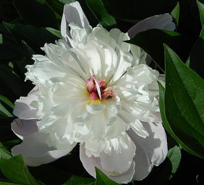 Photograph - White Peony by Betty-Anne McDonald