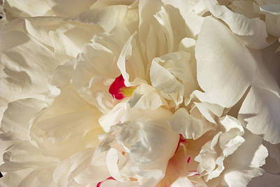 Photograph - White Peony Flower by Keith Webber Jr