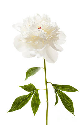 White Peony Flower On White Art Print by Elena Elisseeva