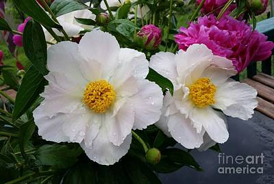 Art Print featuring the photograph White Peony Flower by Rose Wang