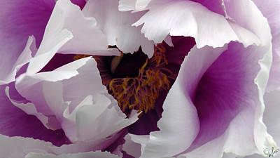 White Peony With Purple Art Print by Sascha Kolek