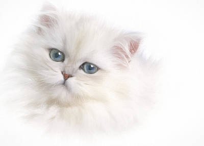 Photograph - White Persian Kitten by David and Carol Kelly
