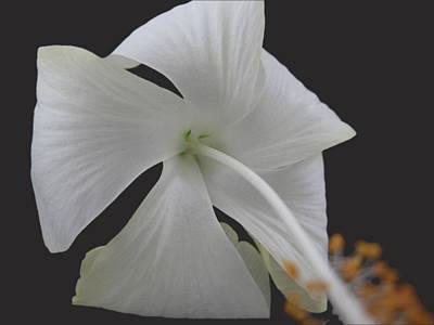 White Petals Art Print by Rohit Jadav