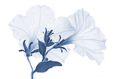 Photograph - White Petunia Flowers Blue Monochrome by Jennie Marie Schell
