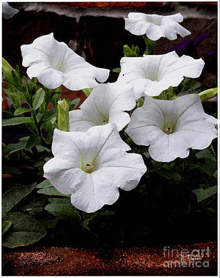 Photograph - White Petunia Blooms by James C Thomas