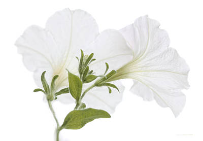 Photograph - White Petunia Flowers On White by Jennie Marie Schell