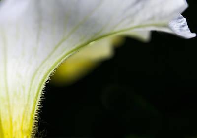 Photograph - White Petunia by Fran Riley