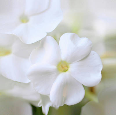 Phlox Photograph - White Phlox by Anna Miller