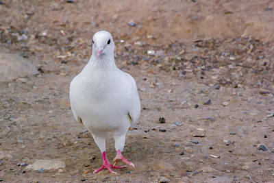 Digital Art - White Pigeon by Photographic Art by Russel Ray Photos