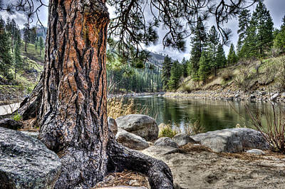 Photograph - White Pine by David Martorelli