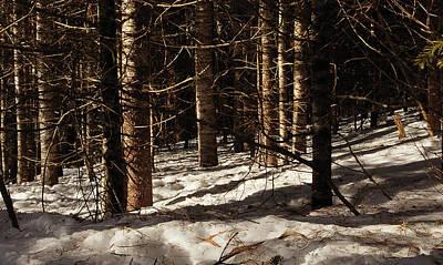 Dappled Sunlight Photograph - White Pine Grove by Susan Capuano