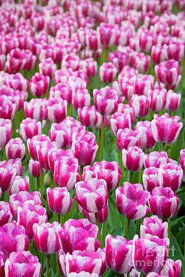 Photograph - White Pink Tulips by Katka Pruskova