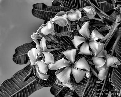 Photograph - White Plumeria - Bw by Christopher Holmes