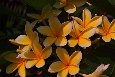 Art Print featuring the photograph White Plumeria by Miguel Winterpacht