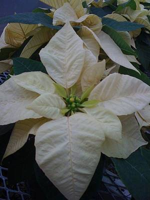 Photograph - White Poinsetta by Elizabeth King