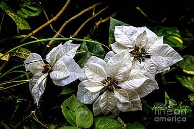 White Poinsettia Original