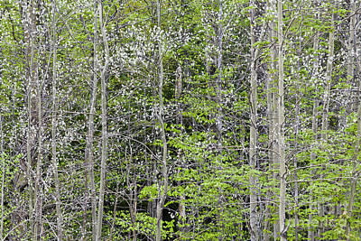 Photograph - White Poplar Spring Woods by Alan L Graham
