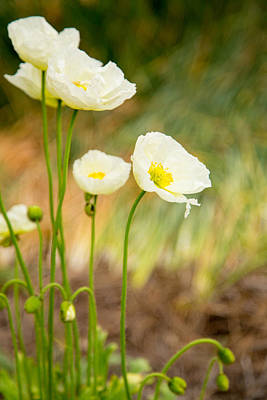 Photograph - White Poppies by Karol Livote