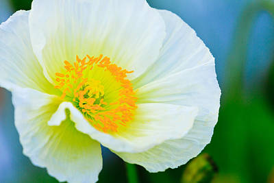 Photograph - White Poppy by Ben Graham