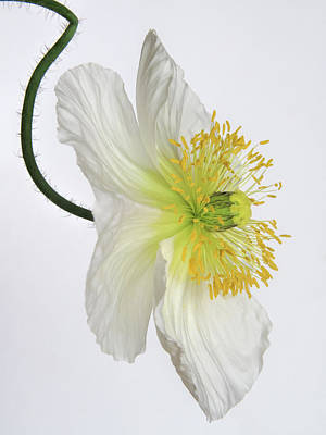 Photograph - White Poppy by David and Carol Kelly