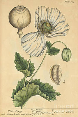 Photograph - White Poppy-medicinal Plant-1737 by Science Source
