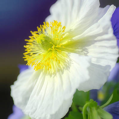 Photograph - White Poppy Squared by Fraida Gutovich