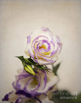 White Purple Lisianthus Art Print