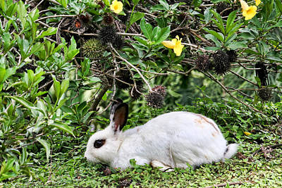 Photograph - White Rabbit In Costa Rica by Peggy Collins