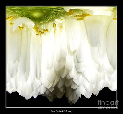 Photograph - White Ranunculus Abstract by Rose Santuci-Sofranko