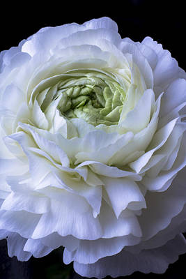 White Ranunculus Flower Photograph - White Ranunculus Close Up by Garry Gay