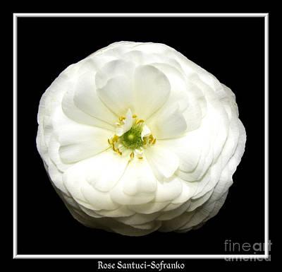 Gardening Photograph - White Ranunculus by Rose Santuci-Sofranko