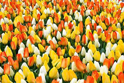 White Orange And Yellow Tulips Art Print by Menachem Ganon