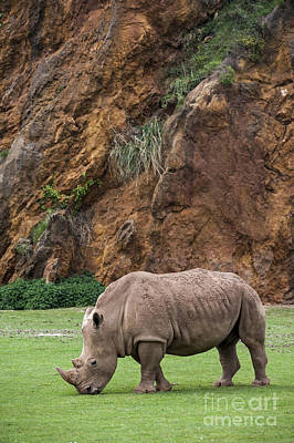 Photograph - White Rhino 13 by Arterra Picture Library