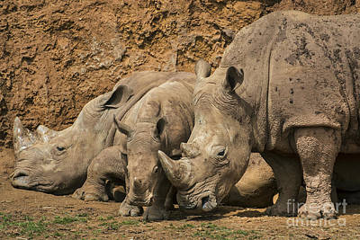 Photograph - White Rhino 3 by Arterra Picture Library