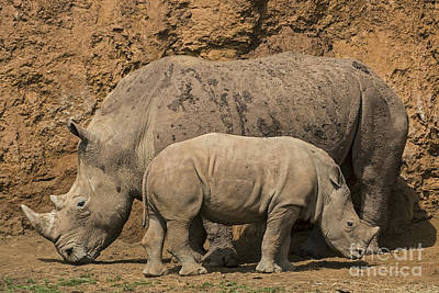 Photograph - White Rhino 4 by Arterra Picture Library