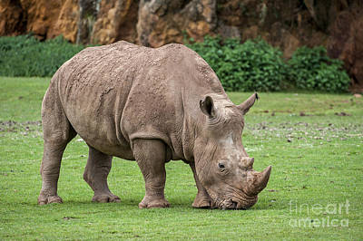 Photograph - White Rhino 5 by Arterra Picture Library